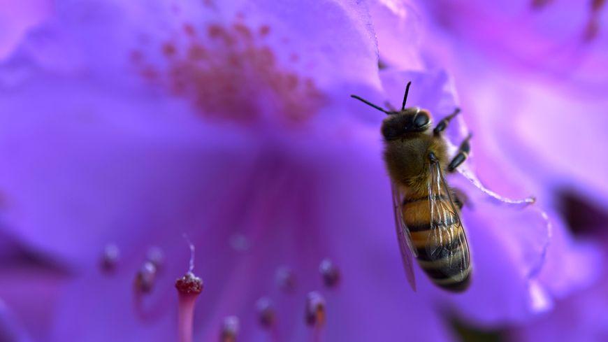 Une abeille sur une fleur de rhododendron.