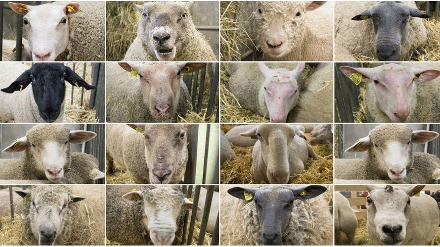 Plus de soixante races de moutons sont répertoriées en France.