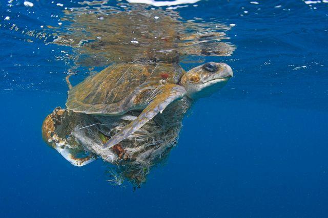 Près d'une île du Panama, cette tortue marine est piégée dans un mélange de déchets plastiques en tous genres.