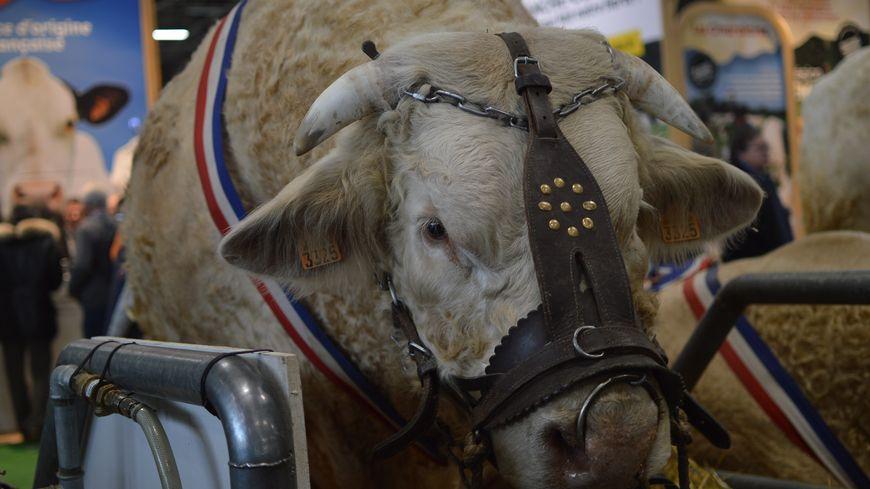 """""""Impoli"""", un taureau né dans le Berry, star du Salon de l'agriculture à Paris"""