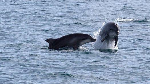 On pouvait presque danser avec les dauphins dimanche à Leucate