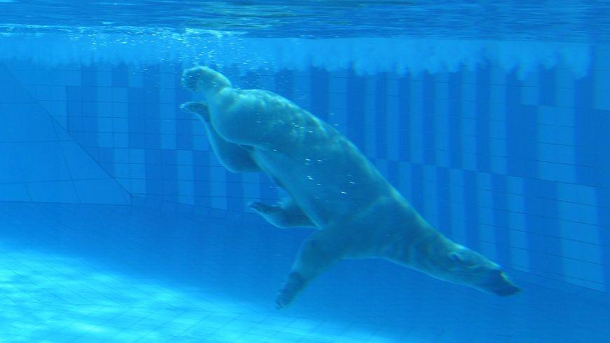 Deux nouveaux ours polaires au zoo de La Palmyre