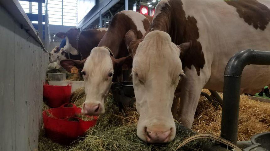 Les vaches se préparent avant de concourir pour le tire de la plus belle Montbéliarde au Salon de l'Agriculture