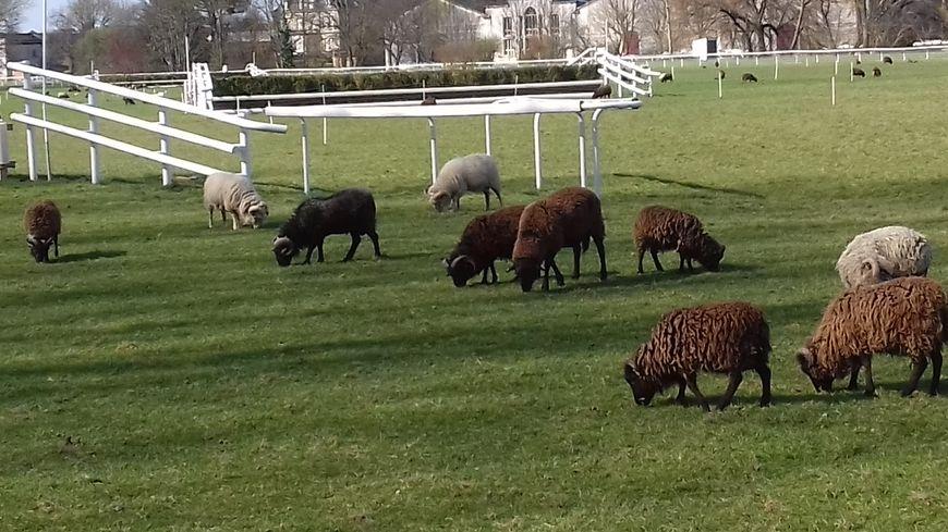 130 moutons, dont 45 femelles, se sont installés sur l'hippodrome de Jarnac de septembre à juin