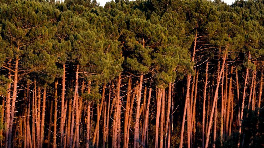 la forêt des Landes de Gasgogne
