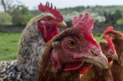 Elevage industriel et poulet goût framboise
