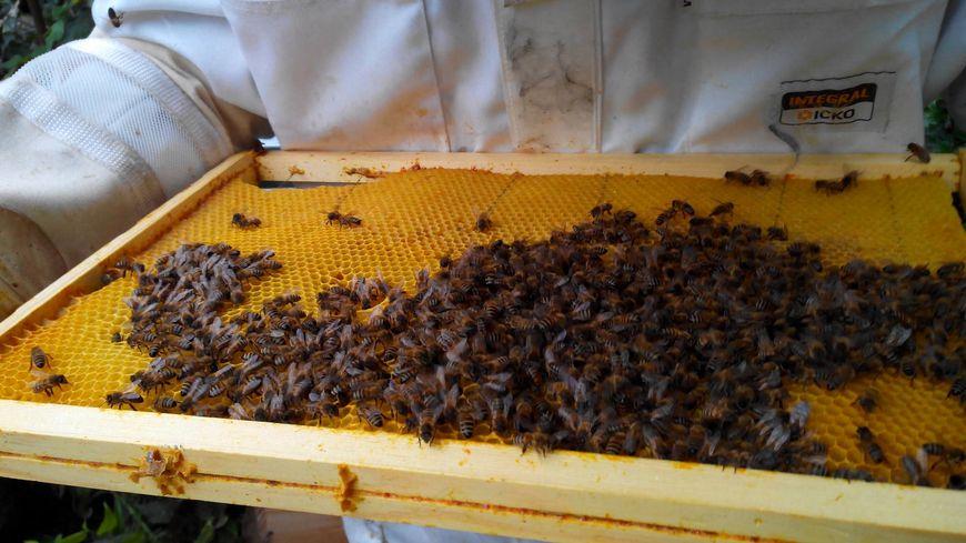 Cadre de ruche recouvert d'abeilles. Septembre 2017.