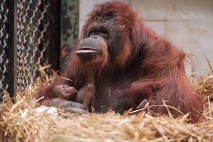 L'orang-outan Nénette ici en 1994 avec son petit Tubo