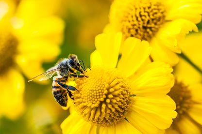 Distribution de trefles pour aider les pollinisateurs
