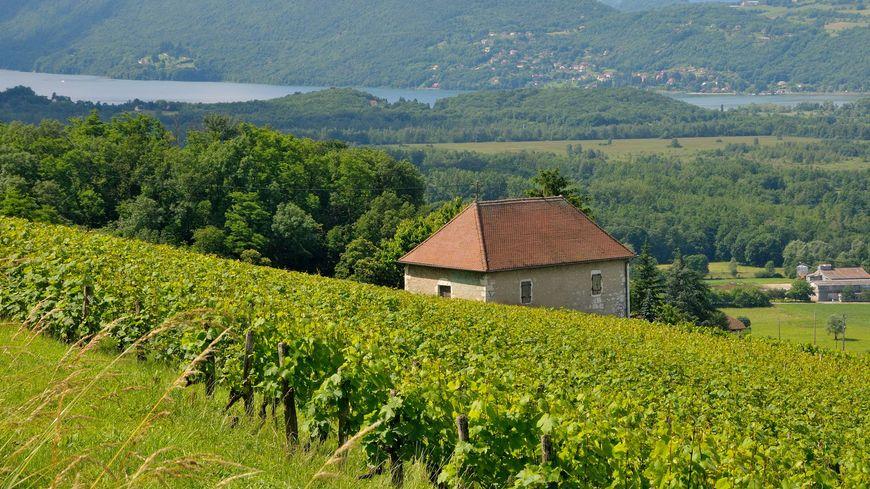 Le vignoble coopératif de la Cave des Vignes des Alpes fait près de 160 hectares