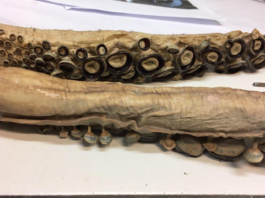 Tentacules de calamar géant - Atelier de taxidermie MNHN