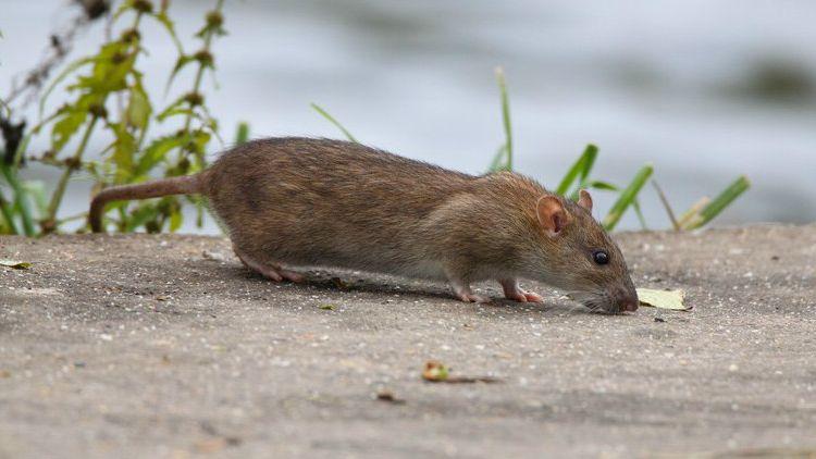 Un rat brun ou rat d'égout. Le ratio est d'un à 4 rats par avignonnais.