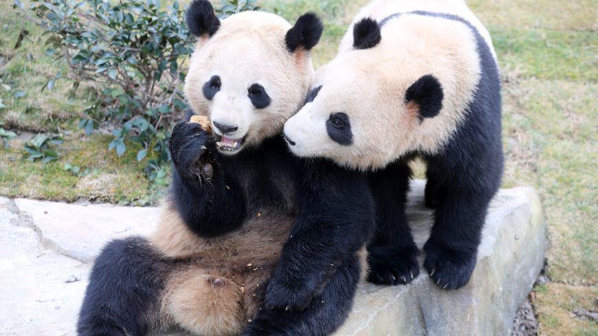 Les deux pandas, actuellement en Chine dans un parc zoologique, Ciao Mei et Zou Bou
