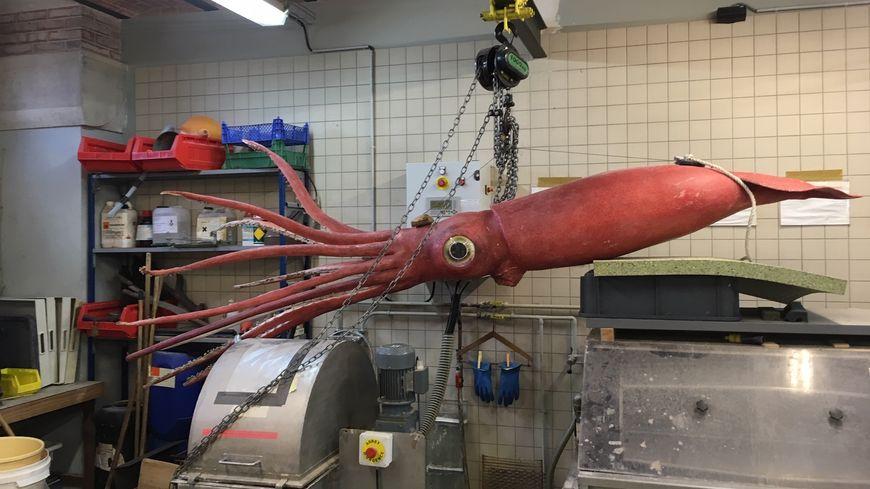 Atelier de taxidermie MNHN - Calamar géant