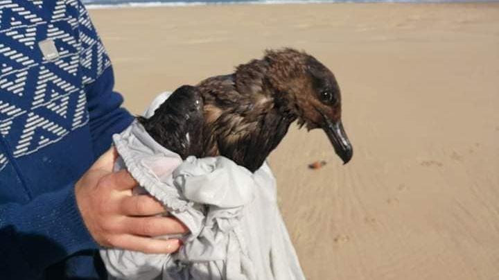 L'oiseau, un Grand Labbe, est mazouté à 50%. Il est très amaigri. Les soigneurs font tout pour le ré-hydrater.