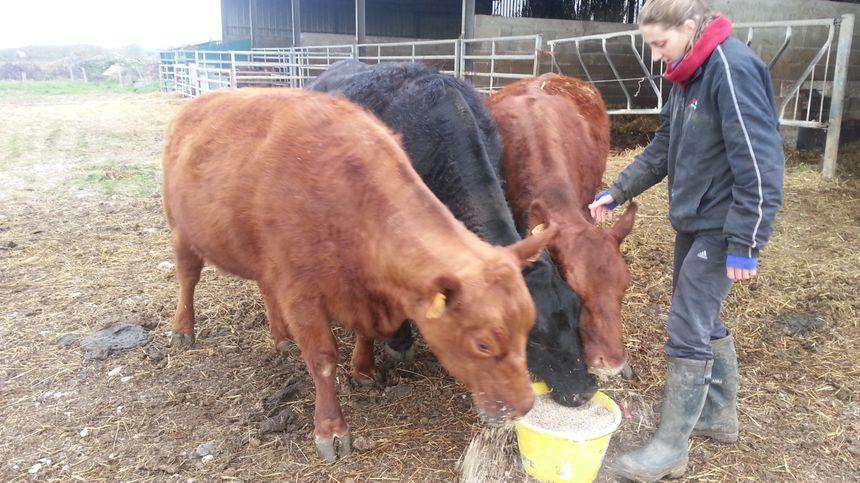 La race Angus est une vache de petite taille.