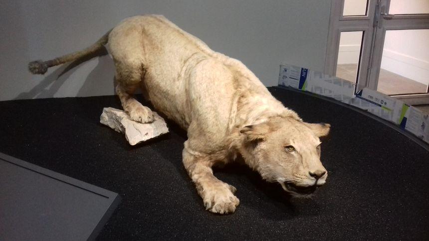 Un lion des cavernes adulte