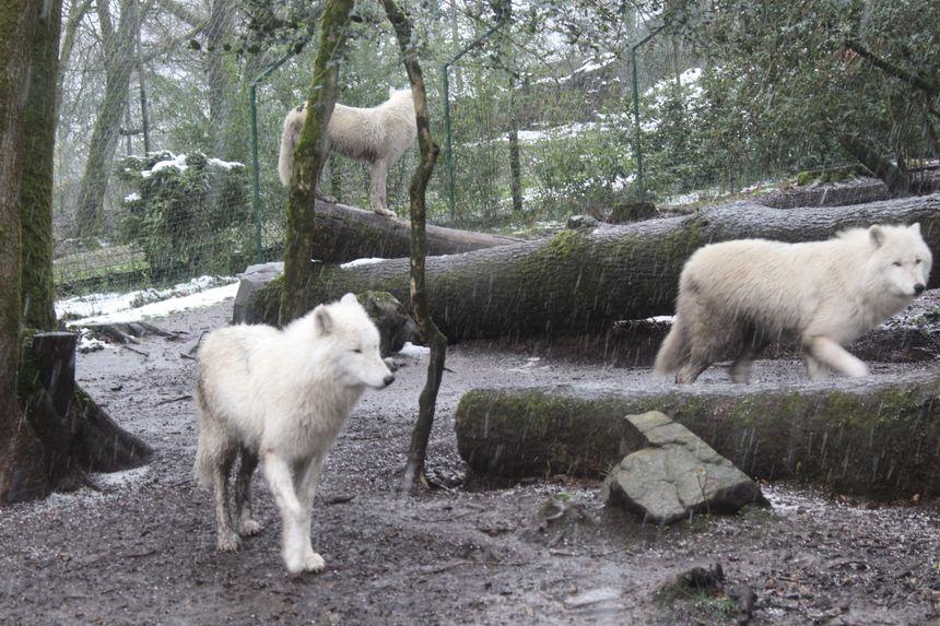Les loups du zoo de Jurques profitent de la neige