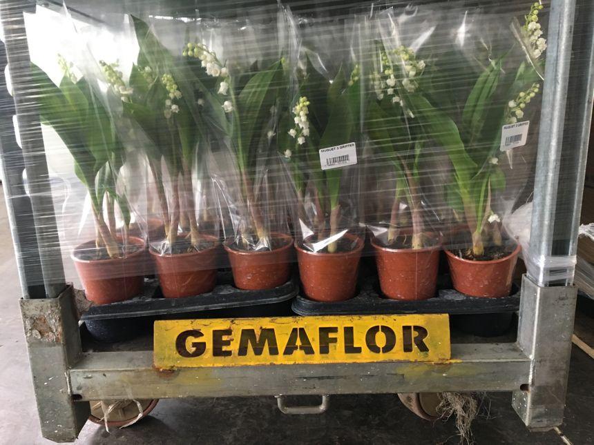 Les pots de muguet sont prêts à être expédiés chez Gémaflor.