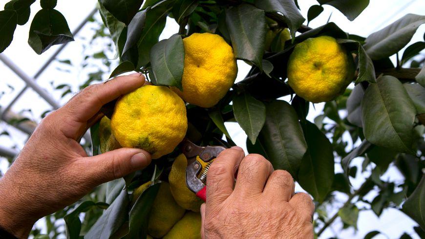Un agrume qui se sent bien en pays catalan : le yuzu