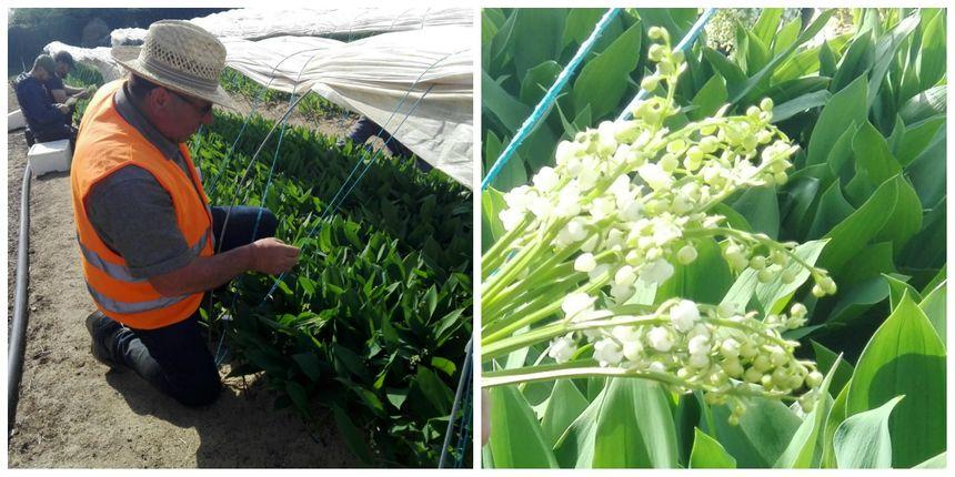 Pascal Raguin, chef de culture chez Bigot Fleurs ajuste la cueillette du muguet au jour le jour