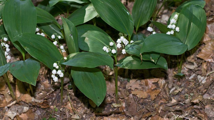 Le muguet des bois ou Convallaria Marjalis  est présent dans l'Yonne