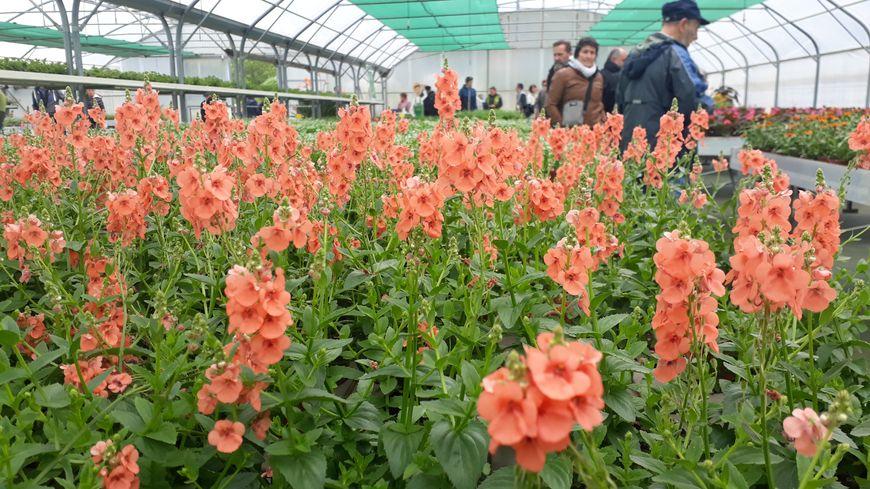 Près de 60 000 plantes poussent chaque année sous les serres municipales d'Anglet