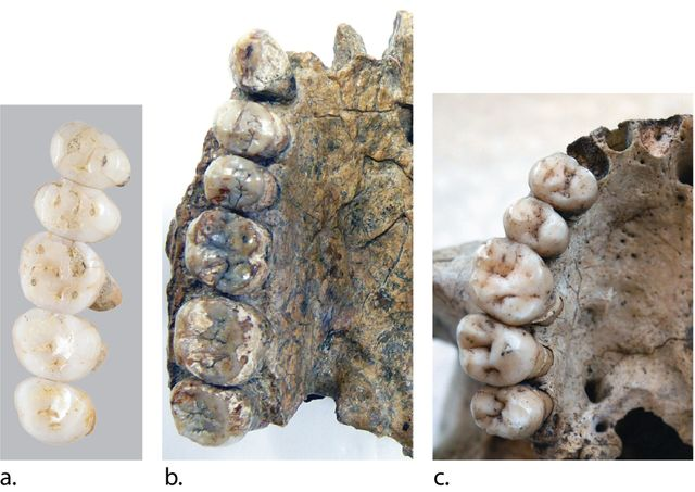Comparaison des dents: de gauche à droite, Homo Luzonensis, Homo Erectus et Homo Sapiens