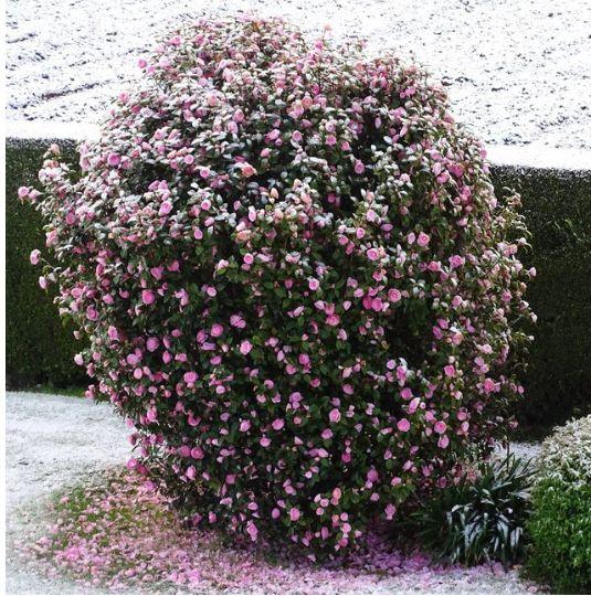 Neige dans le jardin d'Isabelle à Plougras