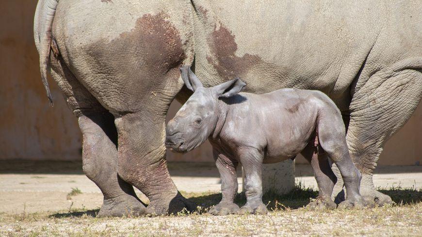 Basile le jeune rhinocéros blanc 3 jours après sa naissance dans les pattes de sa mère