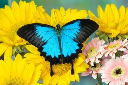Papillon Ulysse