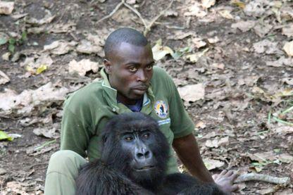 Gardien avec un gorille de montagne dans le Senkwekwe Center, le seul orphelinat au monde pour ces mammifères, situé dans le parc national des Virunga à Rumangabo, au Congo, le 8 décembre 2016.