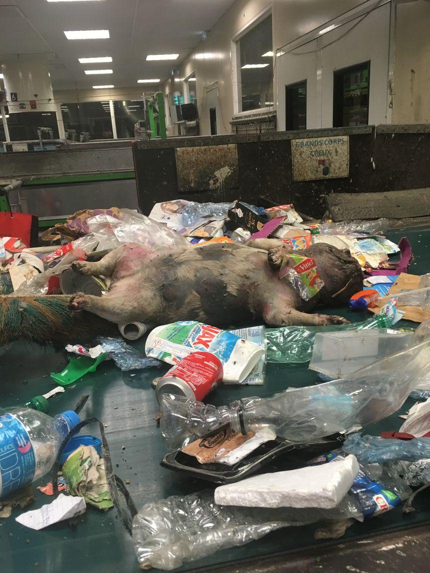 Parmi les horreurs trouvées sur les tapis de tri : des animaux morts, comme ce chien en état de putréfaction.