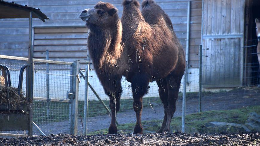 La chamelle de Mongolie était coincée dans un trou d'eau de deux mètres de profondeur