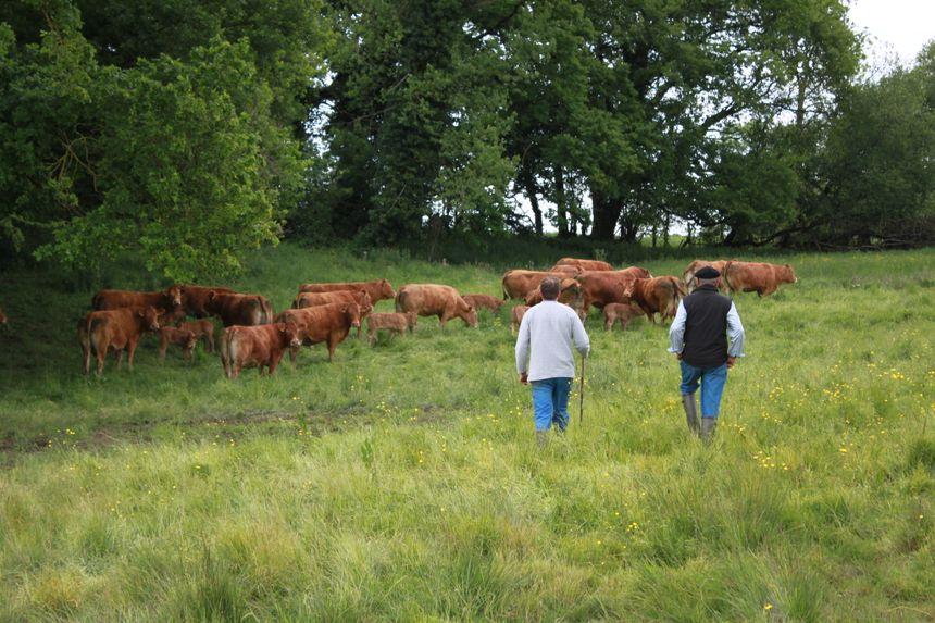 Pour développer son offre de persillé, Plainemaison travaille quasi exclusivement avec des éleveurs du Limousin et donc des animaux qui savent ce que vivre dehors veut dire