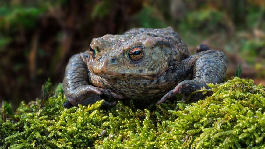 Le crapaud commun est l'une des espèces d'insectivores qui est de plus en rares en Limousin