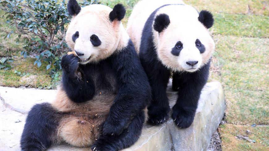 Une bien belle photo de pandas... Mais ceux là habitent bien la Chine