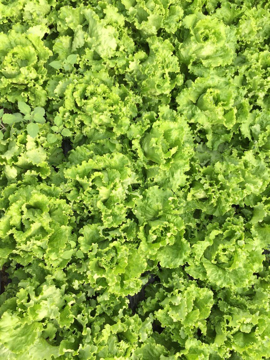 Le coin salade du potager étoilé