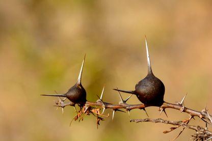 Acacia siffleur (acacia drepanolobium), petit arbre qui pousse dans les savanes est-africaines.