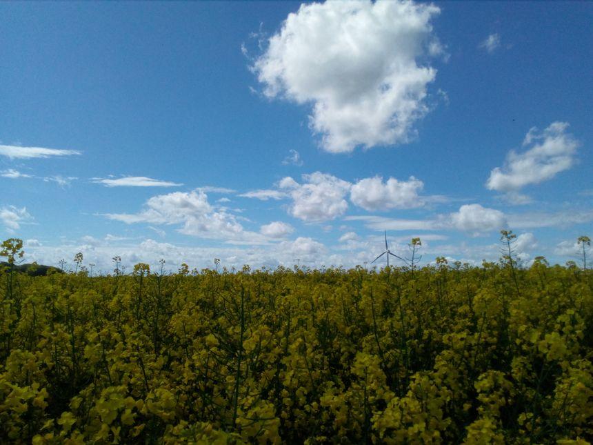 Un champ de colza dans la Somme
