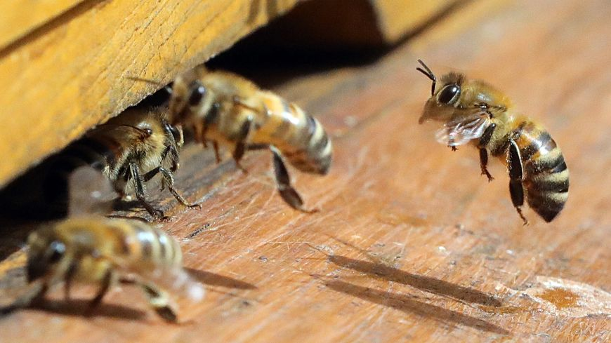 Les abeilles de Notre-Dame sont vivantes