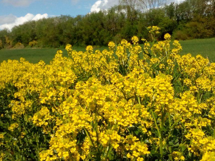 Le colza occupe environ 40 000 hectares de terres cultivées dans la Somme