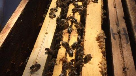 """Les abeilles des ruches de l'association """"Les Abeilles du Forez"""""""