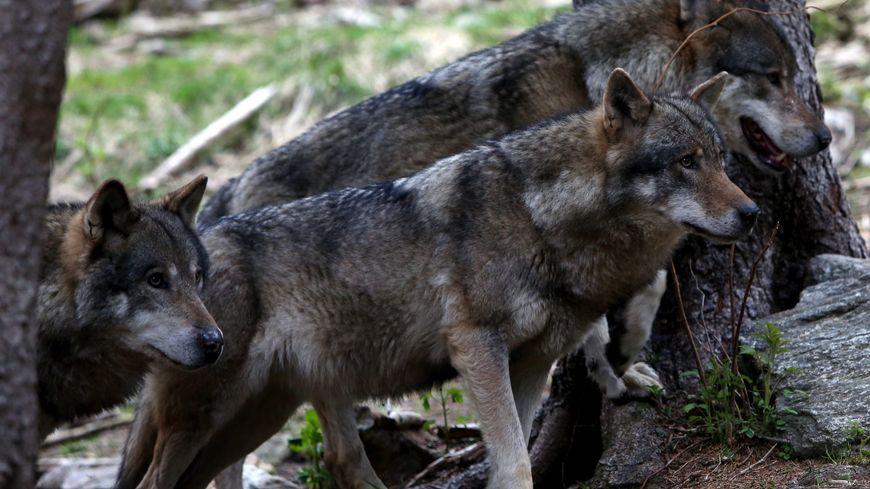 Selon les chasseurs, il y a de plus en plus de loups dans la département (photo d'illustration).