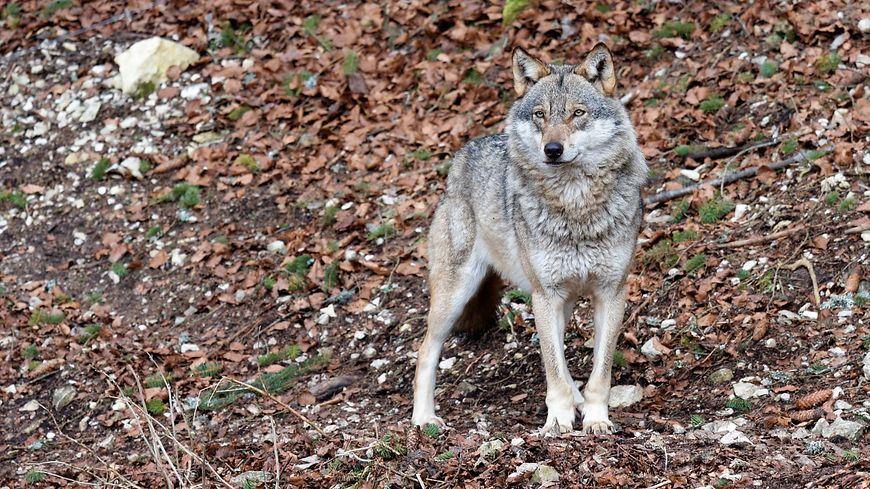Un loup - photo d'illustration