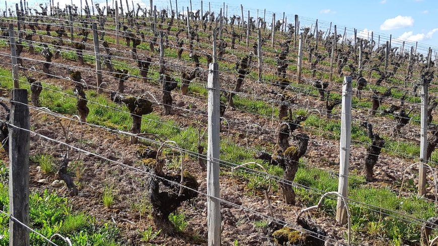 Les vignes pourraient souffrir a cause du gel attendu la nuit prochaine, notamment dans le Jura.