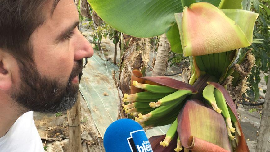 Un régime entier de bananes catalanes qui ont poussé au Soler
