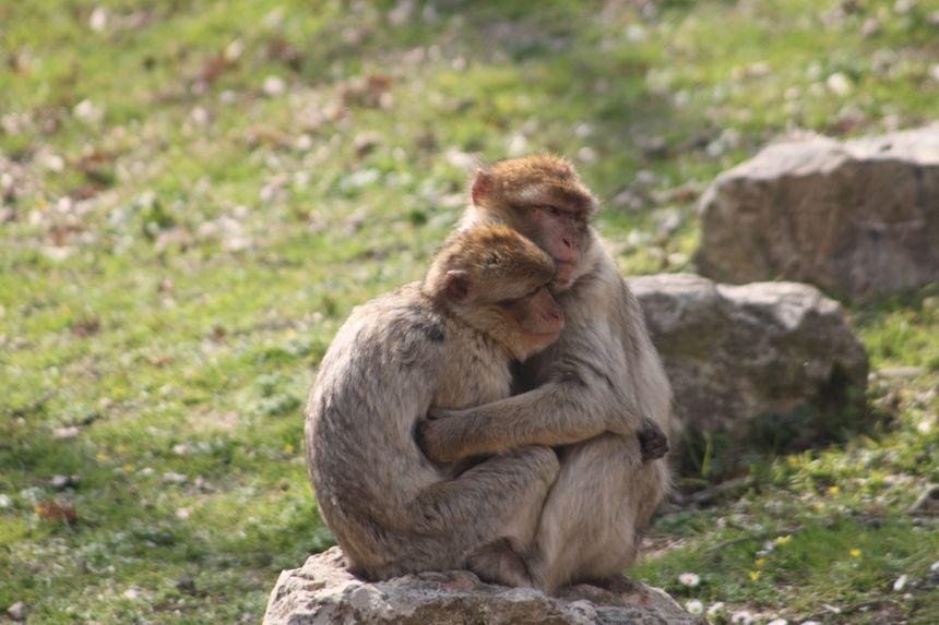 Les magots, appelés aussi macaques de barbarie, font également partie de l'odyssée Méditerranée
