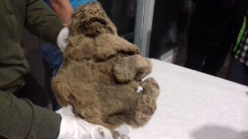 Le lionceau vient d'être sorti de sa glacière