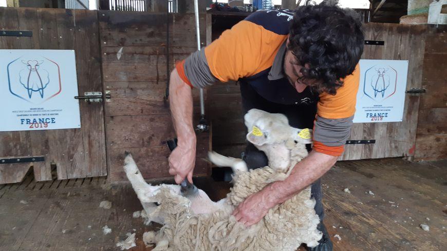 L'équipe de France de tonte de moutons est venue s'entraîner au Dorat, 2 mois avant les mondiaux qui s'y dérouleront
